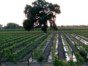 Irrigating the vines